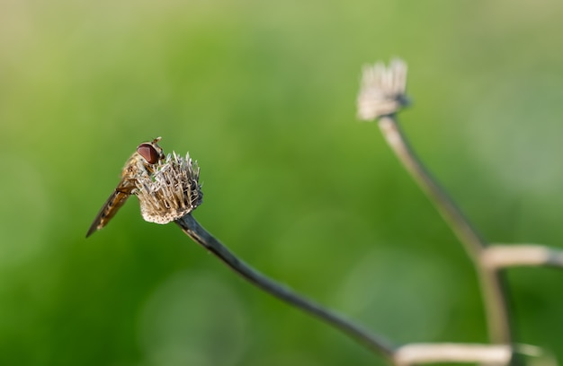 Zweefvlieg die op de droge bloem op vage muur rust