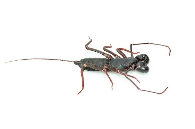 Zweep schorpioen geïsoleerd. dier. insect.