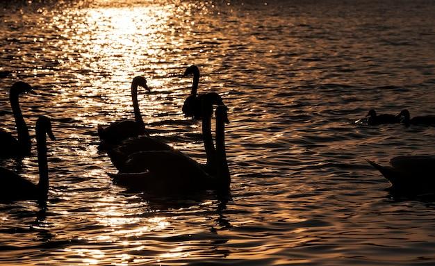 Zwemmen bij dageraad van de zon groep zwanen, veel zwanen in de lente van het jaar in de gouden stralen tijdens zonsopgang of zonsondergang, lentetijd van het jaar op het meer met een zwerm zwanen, close-up