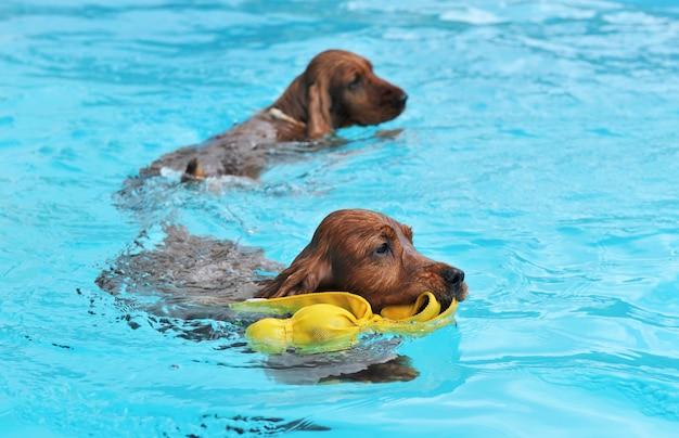 Zwemmende cocker-spaniël
