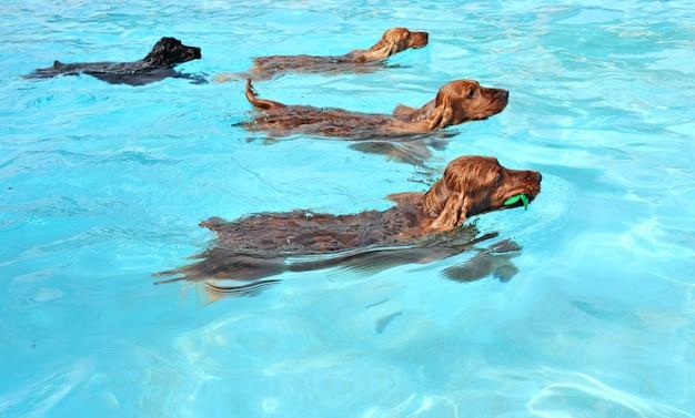 Zwemmende honden