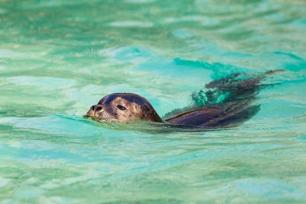 Zwemmende zeehond in schoon water