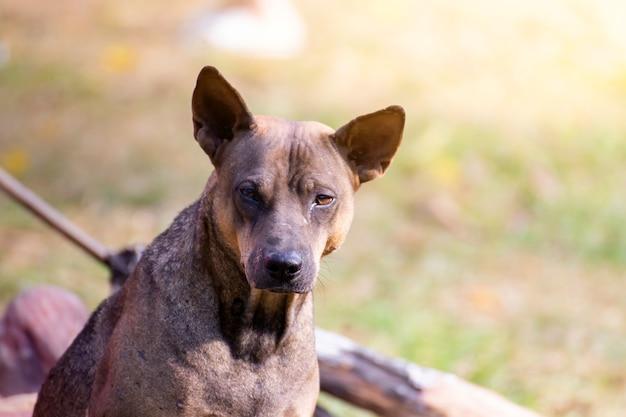 Zwerfhond kijken camera staren. de hond kijkt naar fotograaf, zwerfhond, dakloze hond