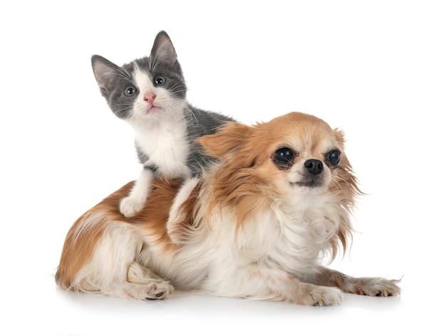 Zwerfkatje en chihuahua voor witte achtergrond