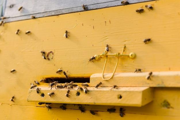 Zwerm bijen bij de ingang van de gele korf