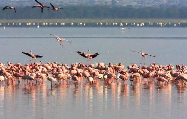 Zwerm flamingo's uit nakuru. kenia, afrika