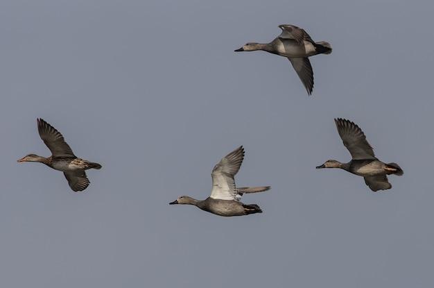 Zwerm ganzen die tegen een donkere lucht vliegen