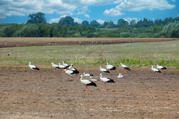 Zwerm ooievaars op een geploegd veld op zoek naar voedsel.