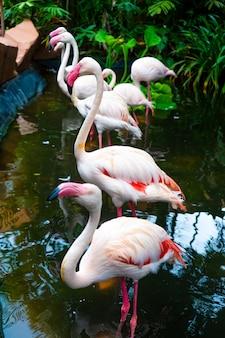 Zwerm roze flamingo's in de dierentuinvijver.