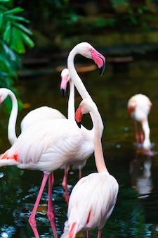 Zwerm roze flamingo's in de dierentuinvijver
