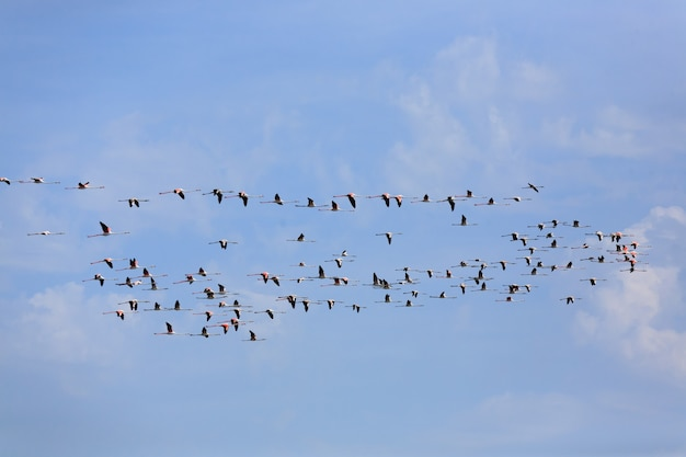 Zwerm roze flamingo's vliegen, uit