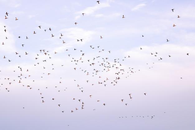 Zwerm vogels die tijdens migratie tegen een bewolkte hemel vliegen