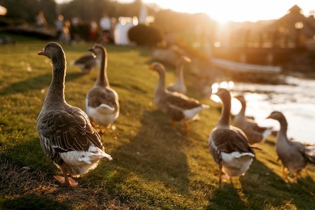 Zwerm vogels eenden loopt op het gras bij zonsondergang bij de vijver