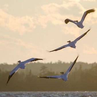 Zwerm vogels vliegen over een meer, lake of the woods, ontario, canada