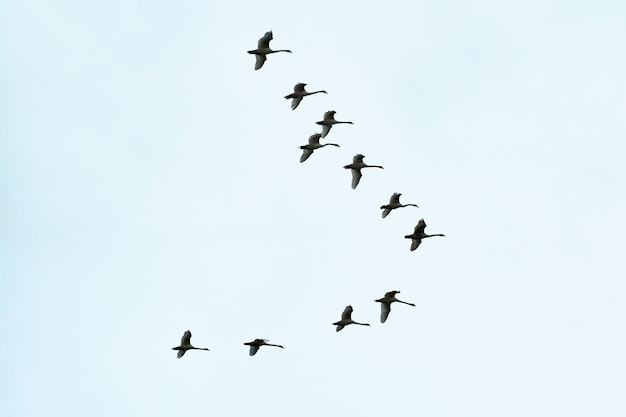 Zwerm vogels, zwanen vliegen hoog in de blauwe lucht. vlucht in v-formatie