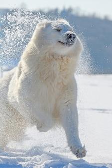 Zwitserse witte herdershond die in de winter op sneeuw loopt