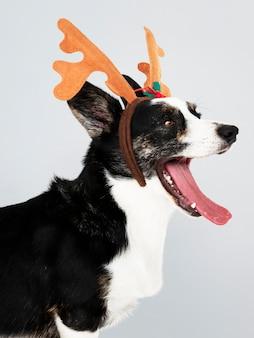 Slaperige Cardigan Welsh Corgi-hond die geweitakken draagt