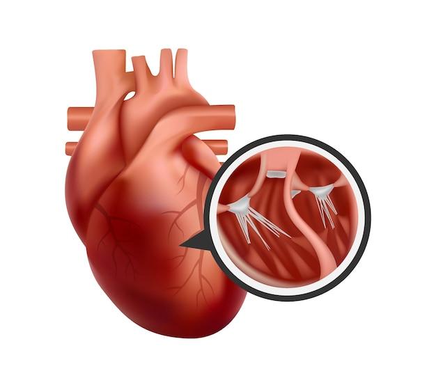 3d-anatomie van het menselijk hart met close-up van de dwarsdoorsnede. realistische hartillustratie