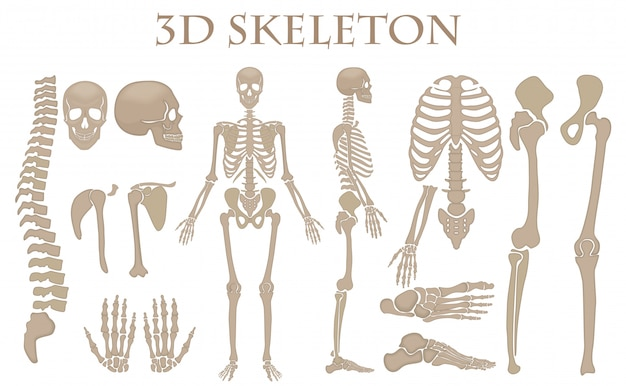 3d-realistische menselijke botten skelet