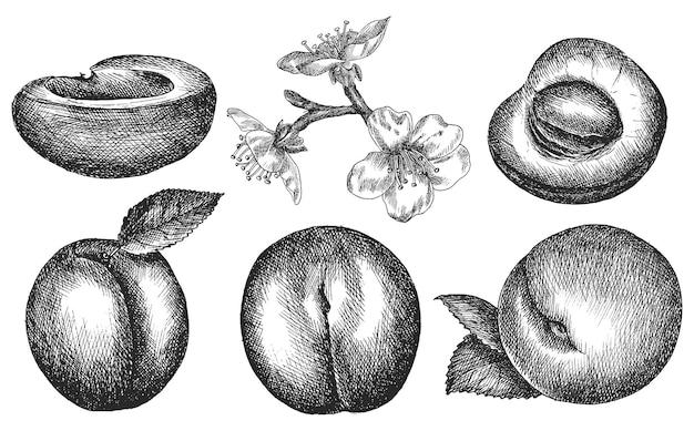 Abrikoos. hand tekenen groenten. schetsen.