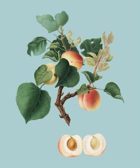 Abrikoos van de illustratie van pomona italiana Gratis Vector