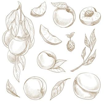 Abrikozen en perziken, geïsoleerde vruchten met bladeren die aan boomtakken groeien