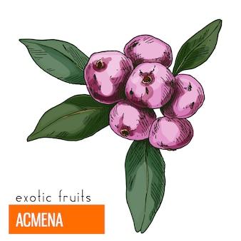 Acmena. kleur vectorillustratie.