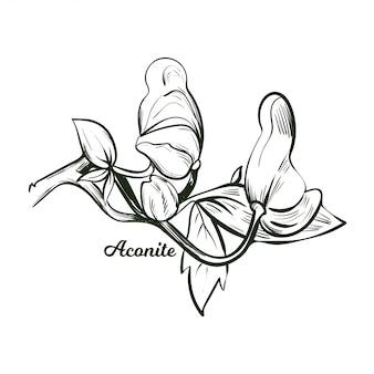 Aconite monnikskap, wolfsbane, aconitum. aconitum luipaarden vloek, muis, vloek voor vrouwen, duivelshelm, koningin van vergiften, blauwe raket. bloeiende bloemen en bladeren zwart-wit pictogram.
