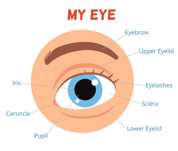 Affiche voor het leren van kinderen. de structuur van het menselijk oog.