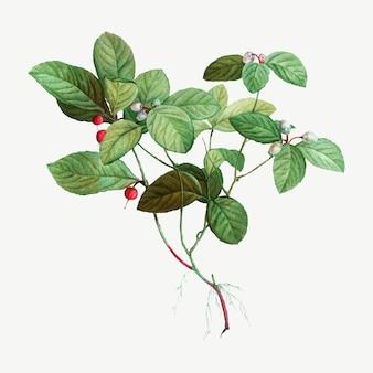 Amerikaanse wintergreen-plant