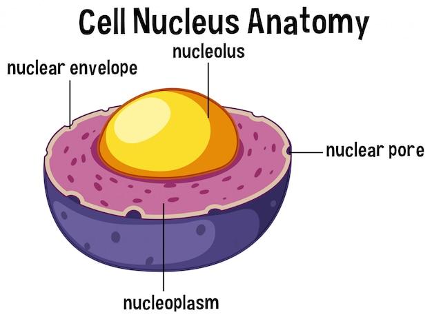 Anatomie van de dierlijke celkern