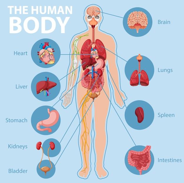 Anatomie van de infographic van het menselijk lichaamsinformatie