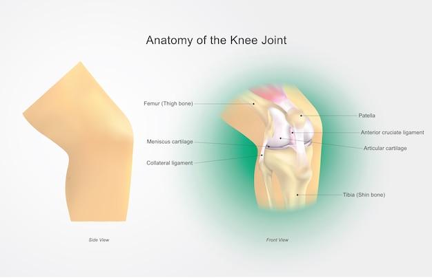 Anatomie van de kniegewricht