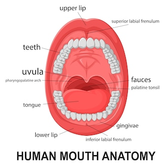Anatomie van de menselijke mond, open mond met uitleg