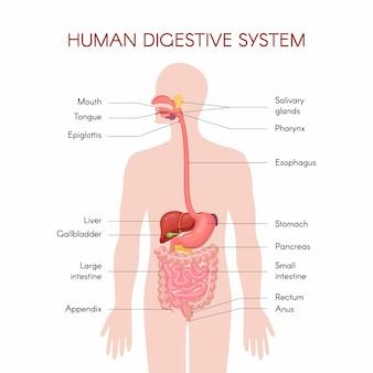 Anatomie van de menselijke spijsverteringsorganen met beschrijving van de overeenkomstige functies interne organen. anatomische illustratie in vlakke stijl geïsoleerd op witte achtergrond.