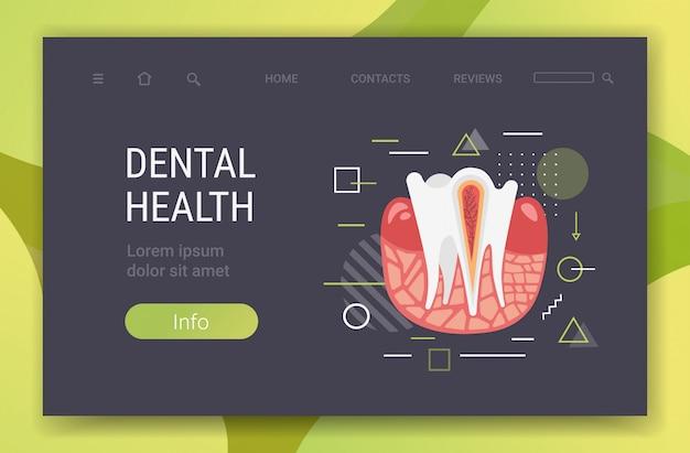 Anatomie van de menselijke tandstructuur zenuwuiteinden doorsnede voor medische tandheelkundige kliniek tandarts geneeskunde tandheelkunde concept horizontale kopie ruimte