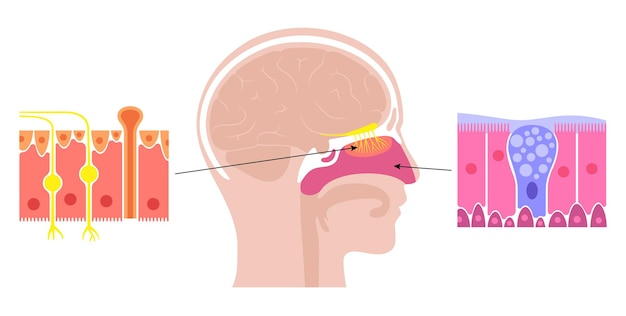 Anatomie van de neusholte