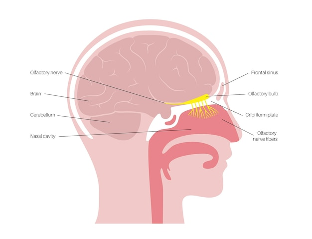 Anatomie van de reukzenuw