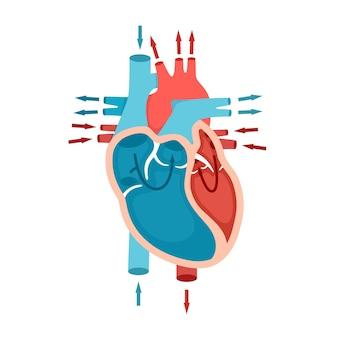Anatomie van het menselijk hart met bloedcirculatie van bloed door het concept van hartcardiologie