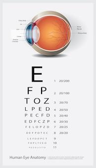 Anatomie van het menselijk oog