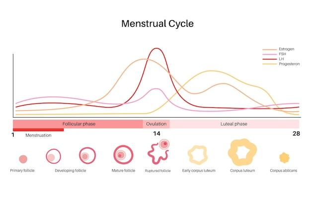 Anatomie van menselijke eicellen. bevruchting, gynaecologie en ivf-onderzoek.