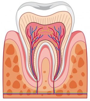 Anatomie van menselijke tand