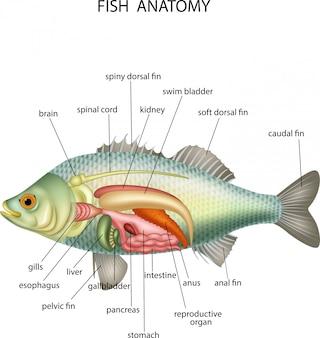 Anatomie van vissen Premium Vector