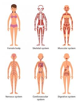 Anatomie van vrouw