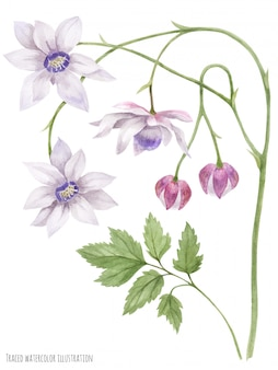 Anemonopsis valse anemone bloeiende tak