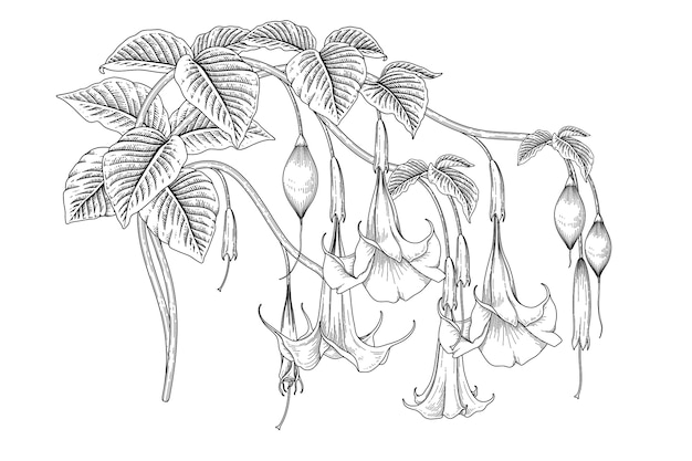 Angel's trumpet flower (brugmansia) tekeningen.
