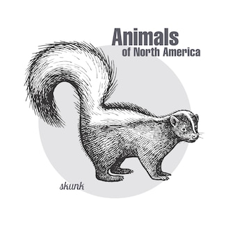 Animal of north america skunk.