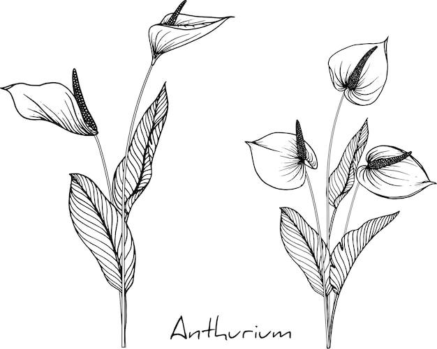 Anthurium bloemtekeningen