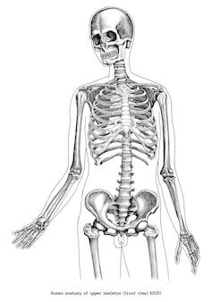Antieke gravure illustratie van menselijke anatomie van zwart-witte illustraties van het bovenste skelet (vooraanzicht)