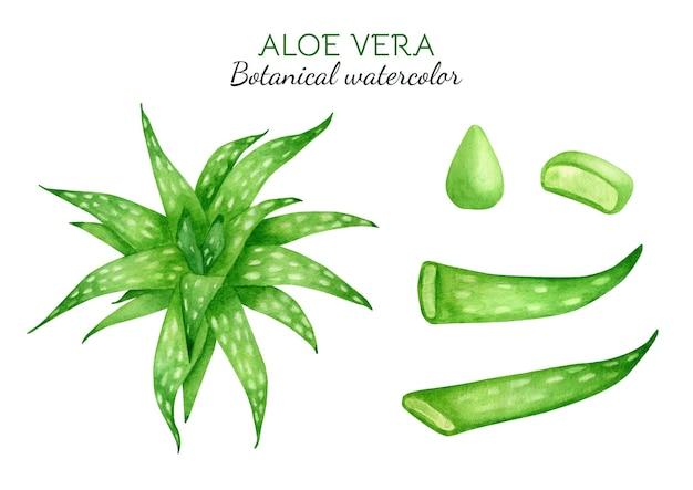 Aquarel aloë vera plantenset verse groene sappige aloë-sapdruppel en gesneden bladeren